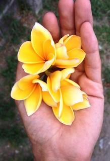 Frangipani Flowers flutter through the air like butterflies.