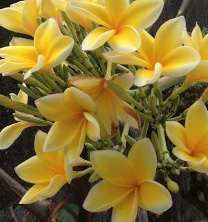 My Favourite Balinese Flowers - Frangipani!